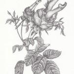 Rosen, Bleistift auf Papier, 16 x 24cm, Feb. 2015 (VERKAUFT)