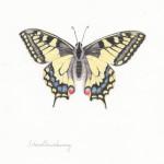 Schwalbenschwanz, Farbstift auf Papier